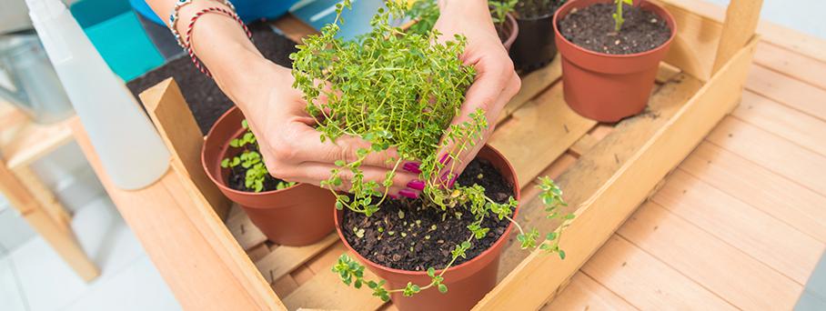 Plantar temperos evita destemperos